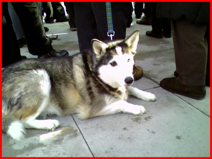 A Husky dog lays patiently on the concrete among during the rally.