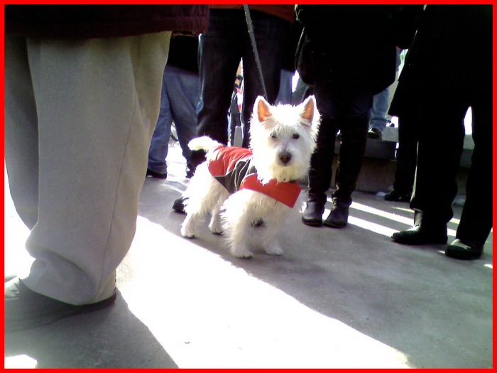 A little white fluffy dog wears a coat to keep warm.