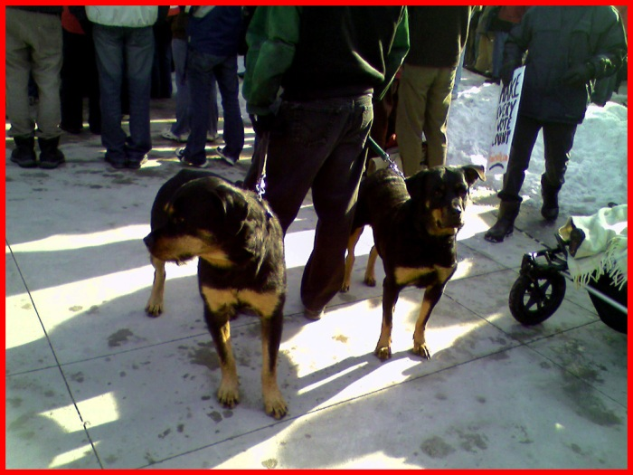 Two Rottweilers enjoy the rally