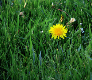 dandilion in the grass