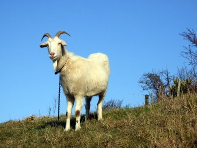 goat tethered on a hill