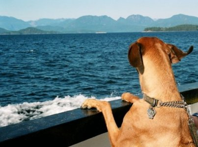 Dog looking over the side of the boat
