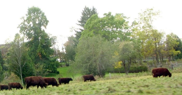 cows in an Ontario field